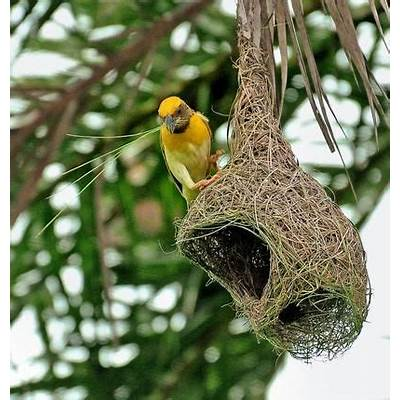 43 best images about Weavers on PinterestBiology