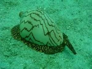 Giant Sea Snail - YouTube
