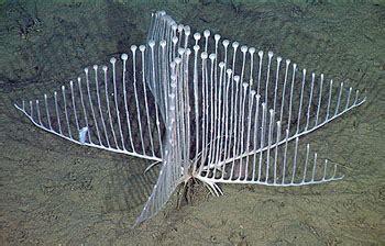 scientists discover extraordinary  carnivorous sponge