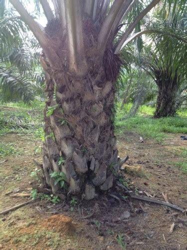 Tanah Ladang Kelapa Sawit untuk dijual