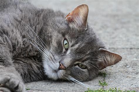 cat meows cat body language