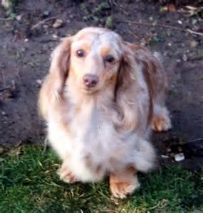 Long Haired Dapple Miniature Dachshund