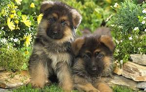 German Shepherd Puppies Dogs Wallpaper - Pictures Of ...
