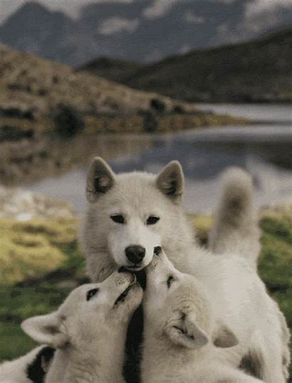 Wolf Adorable Pups Dogs Serious Gifs Insanity