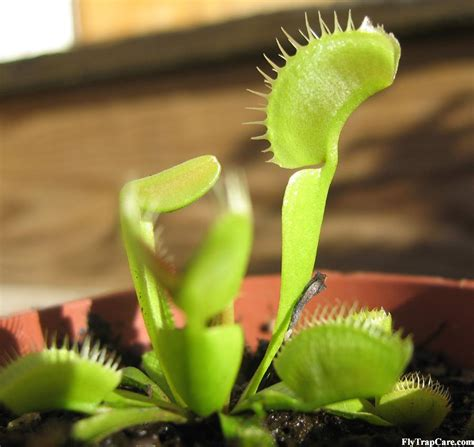 how to take care of a venus flytrap venus fly trap information flytrapcare com