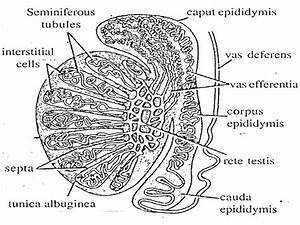 Reproductive System Of The Male Rabbit And Detail Of The