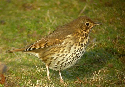 Image Gallery Speckled Thrush