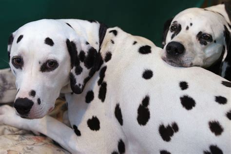 30 days dalmatian puppies for dogs ranked