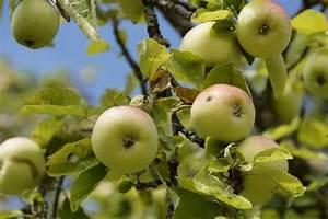 Wann äpfel Ernten : hecke b ume richtig schneiden wann wie tipps ~ Lizthompson.info Haus und Dekorationen