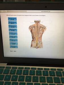 Solved  Click And Drag The Labels Of The Spinal Nerve Cate