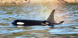 Killer Whale May Have Had Help Delivering Baby Orca