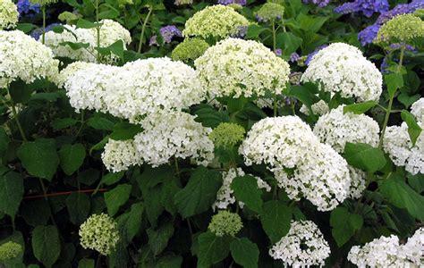 wille bolvormige bloem bezoekersvraag coniferenhaag en annabelle combineren kan