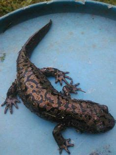japanese giant salamander andrias japonicus