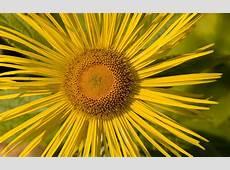 Yellow Flowers Desktop Wallpapers Wallpaper, High