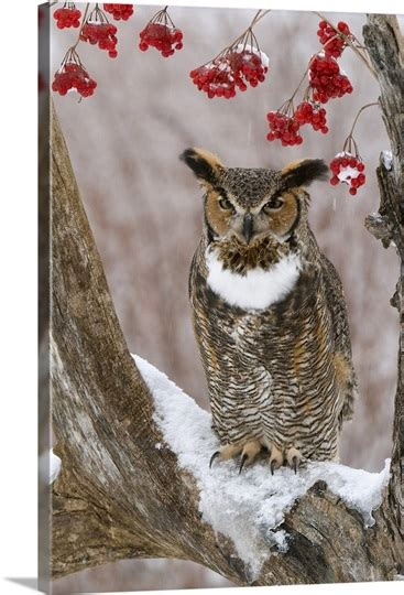 great horned owl bubo virginianus  winter howell