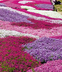 Bodendecker Blühend Winterhart Sonnig : phlox mix flowers of the sea top qualit t baldur garten ~ Frokenaadalensverden.com Haus und Dekorationen