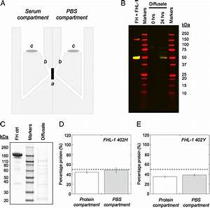 Identification of Factor H–like Protein 1 as the ...