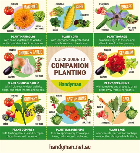 quick guide  companion planting australian handyman