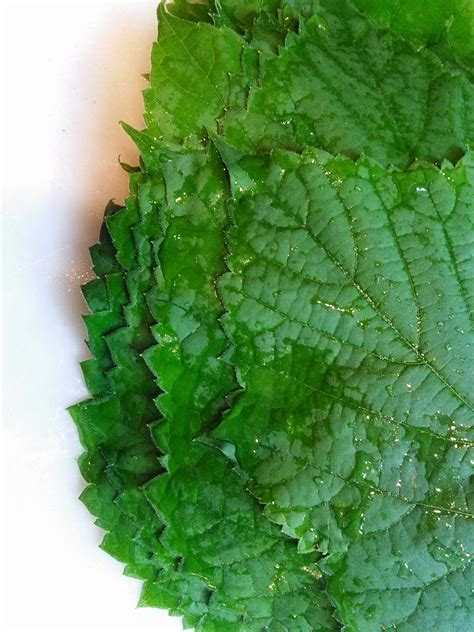 southern forager canning grape leaves