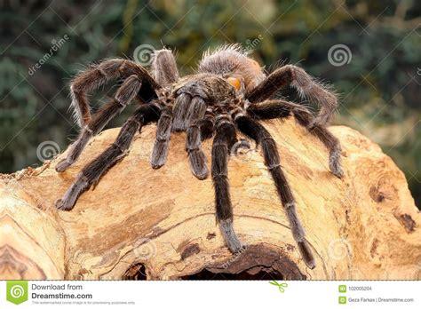 Mexican Black Velvet Tarantula On The Branch Stock Photo
