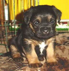 Cute Border Terrier Puppies | Dog Breeds Index