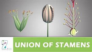 Union Of Stamens