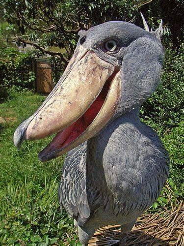 happy shoebill luvbat