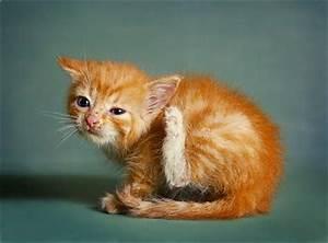 Flöhe Bei Katzen Bekämpfen : milben bei katzen bek mpfen loswerden ~ Orissabook.com Haus und Dekorationen