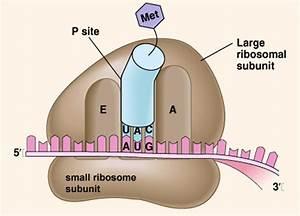 Sgugenetics    Ribosome Structure