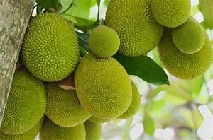 Jackfruit Farming Information Guide   Agrifarming.in