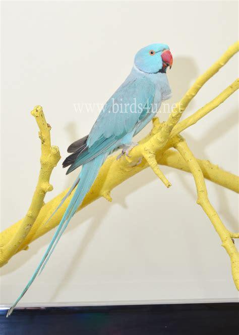 blue ring neck talking parrot  month  male birdsu