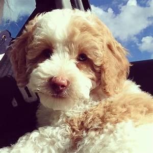 29 best images about Labradoodles on Pinterest | Poodles ...