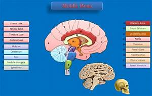 Educative Diagrams  The Middle Of The Brain