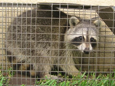 How To Catch A Raccoon In My Backyard by Raccoon Photograph 005 A Raccoon In A Havahart Trap