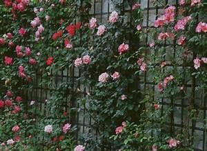 Support Pour Rosier Grimpant : comment planter un rosier au pied d 39 un m r ~ Premium-room.com Idées de Décoration