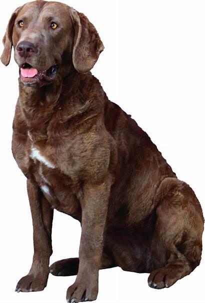 Dog Transparent Clipart Chesapeake Breed Chien Retriever