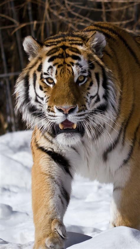 tigre siberiano invierno iphone xgs fondos
