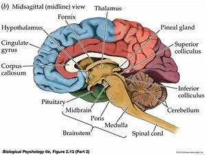 Nervous System  U2013 Anatomy  U0026 Physiology Final Project