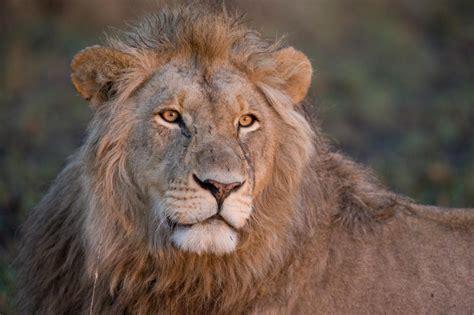 scientists trophy hunts  target older lions