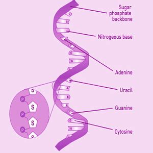 genetics dna rna chromosome definition and videos