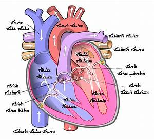 File Diagram Of The Human Heart  Cropped  Arc Svg