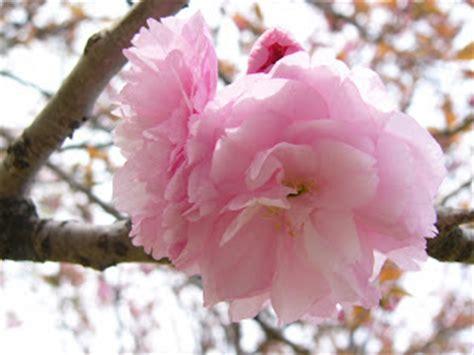 gambar gambar bunga sakura  indah  cantik gambat