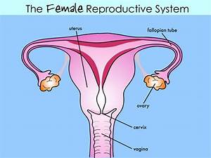 Ignasi Peraire Science Blog  Male And Female Reproductive
