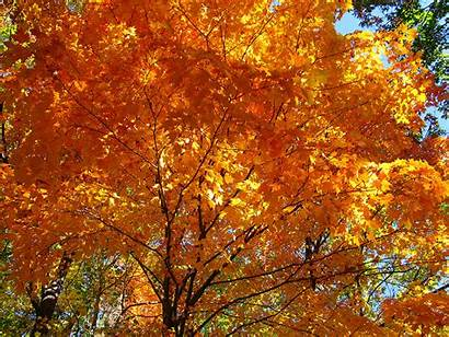 Maple Trees Fall Edible Sugar Forests Acer