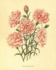 Pink carnation Antique flower art print vintage botanical ...