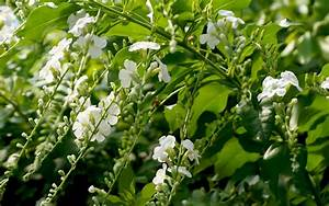 Weiß Blühender Strauch : himmelsbl te weiss pflanze duranta lorentzii h ~ Lizthompson.info Haus und Dekorationen