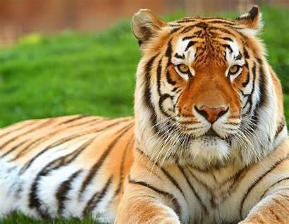 Tiger Animal Wallpapers Royal