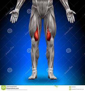 Vastus Medialis - Anatomy Muscles Stock Illustration