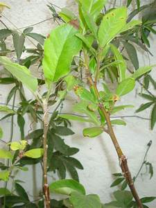 Comment Tailler Un Abricotier : comment tailler un baliveau abricotier au jardin forum ~ Melissatoandfro.com Idées de Décoration