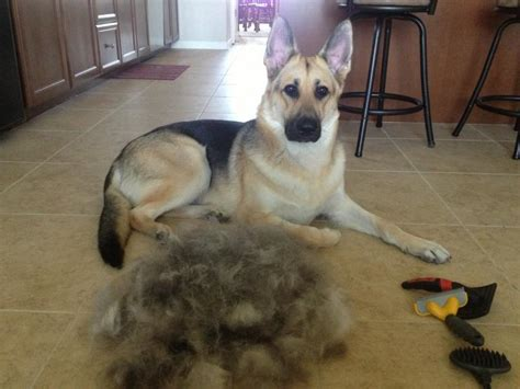 fish for dogs shedding does the shedding stop page 4 german